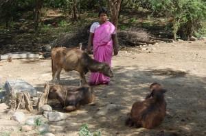 Sankarapuram_Microfinance_Animaux_Betail-14